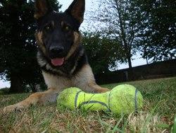 Gandalf, chien Berger allemand