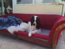 Gandalf Le Blanc, chien Landseer