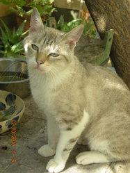 Gandhi 2, chat Siamois