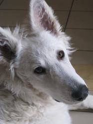 Gandhie, chien Berger blanc suisse