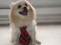 Gandhy, chien Spitz allemand