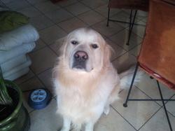 Gandi, chien Golden Retriever
