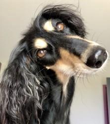 Gandja, chien Saluki