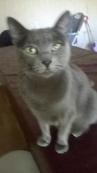 Gandja, chat Siamois