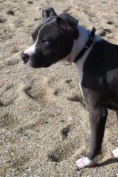 Gandja, chien American Staffordshire Terrier