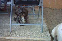 Gandor, chien Shih Tzu