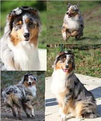 Gandy, chien Berger australien