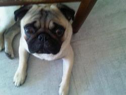 Gandy, chien Carlin