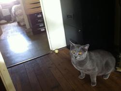Ganesch  De La Richardiere, chat Chartreux