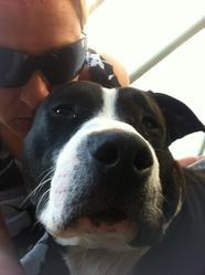 Ganghi, chien American Staffordshire Terrier
