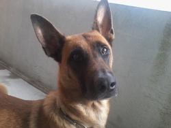 Gangsta, chien Berger belge