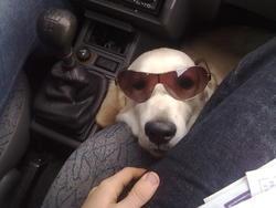 Gangsta, chien Golden Retriever