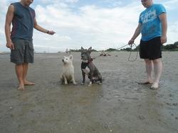 Gangsta, chien American Staffordshire Terrier