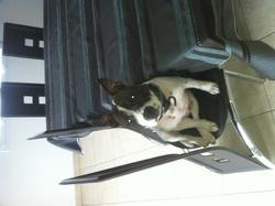 Gangsta, chien Staffordshire Bull Terrier