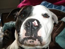 Gangster, chien Bulldog