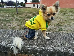 Gangster, chien Chihuahua