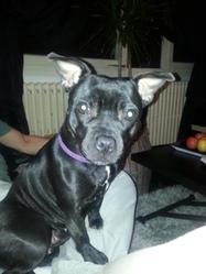 Ganja, chien Staffordshire Bull Terrier