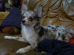 Ganja, chien Chihuahua