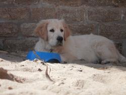 Ganja, chien Golden Retriever