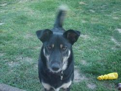 Ganja, chien Berger allemand