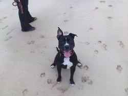 Ganja, chien American Staffordshire Terrier