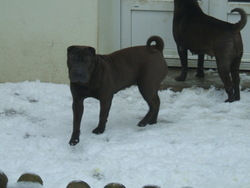 Ganja, chien Shar Pei