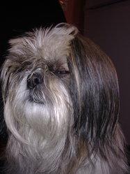 Gannelle, chien Shih Tzu