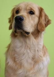 Gao, chien Golden Retriever