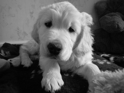 Gao, chien Golden Retriever