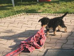 Gao, chien Fox-Terrier