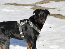 Gao, chien Beauceron