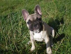 Garance, chien Bouledogue français