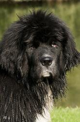Garance, chien Terre-Neuve