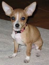 Garcon, chien Chihuahua