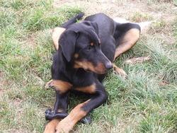 Garden, chien Beauceron