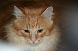 Garfield, chat Maine Coon