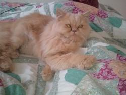 Garfield , chat Persan