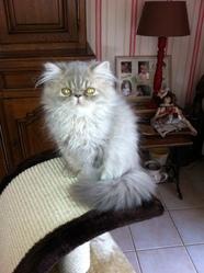 Garfield, chat Persan