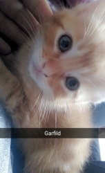 Garfild, chat