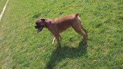 Garina, chien Boxer