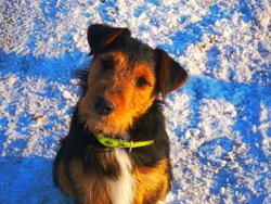 Garou, chien Jagdterrier