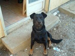 Garou, chien Beauceron