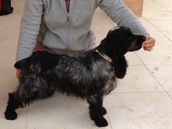 Garou, chien Cocker anglais