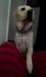 Garou, chien Labrador Retriever