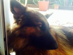 Garou, chien Berger allemand