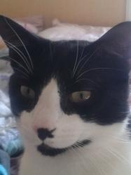 Garou, chat Européen
