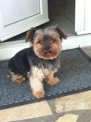 Garou, chien Yorkshire Terrier