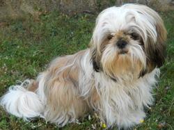 Garou, chien Shih Tzu