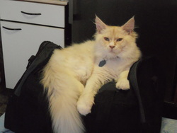 Garou, chat Maine Coon