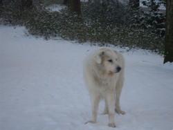 Garou, chien Chien de montagne des Pyrénées
